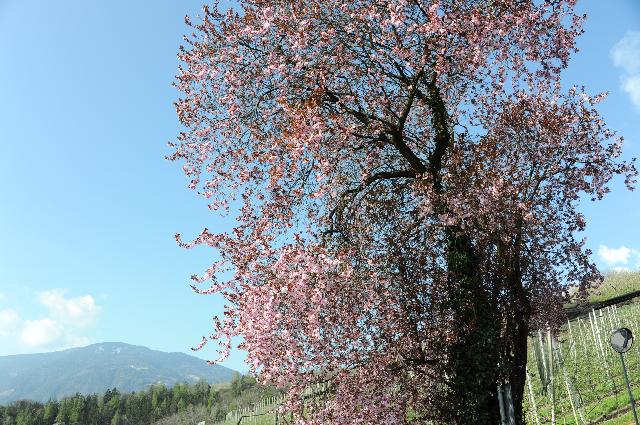 Frühling in Meran